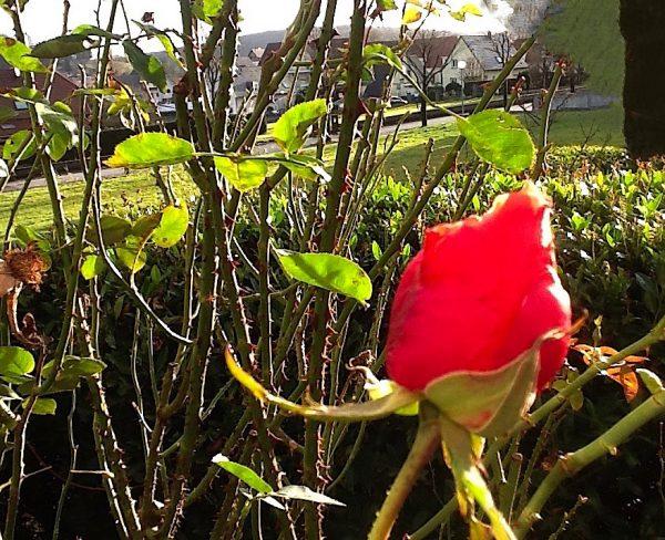 Une rose qui souhaite la nouvelle année